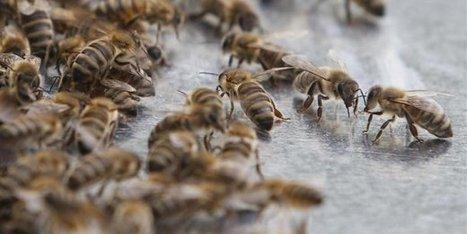 Le Brexit, une menace pour les abeilles? | apiculture31 | Scoop.it