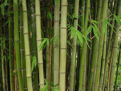Bamboo: Good or Bad for the Environment | Earth Citizens Perspective | Scoop.it