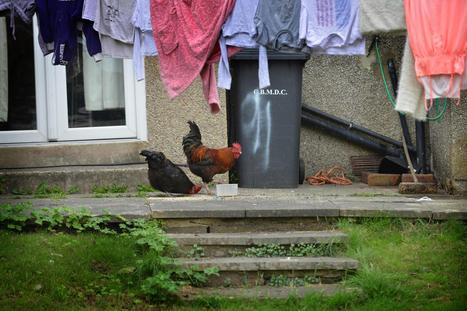 Council threatens noisy cockerel owner with legal noise warning - Bradford Telegraph and Argus | motorsport noise | Scoop.it