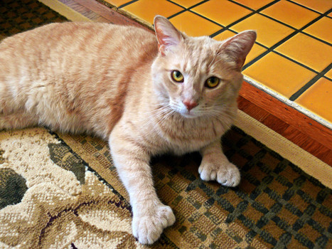 Polydactyl Cats: The Felines With Extra Toes - Huffington Post | Cats Rule the World | Scoop.it