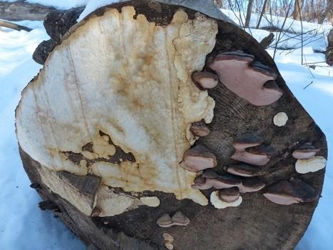 Global : Champignons du Québec et apparentés - Mycologie - Fungi - Monde fongique - Mushrooms from Canada - Mycota - Mycètes - Page 7   Faaxaal Forum Photos gratuite Faune et Flore   Scoop.it