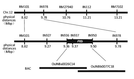 Genetic analysis and molecular mapping of Pitb with broad-spectrum resistance to Magnaporthe oryzae in rice | Rice Blast | Scoop.it