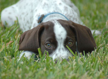 The Buzz About German Shorthaired Pointers – A Look Back In Time | German Shorthaired Pointers | Scoop.it