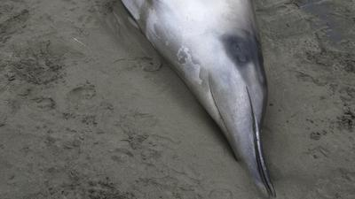 Previously unseen whale species washes up on New Zealand beach | Makamundo (Earthly) | Scoop.it