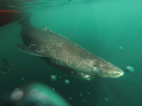 This shark may have been alive in the time of Shakespeare – and fishermen just killed it | Nature Animals humankind | Scoop.it