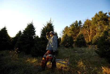 Latinos in the US in Charge of Cutting Down Christmas Trees and Performing Heavy Labor in North Carolina: Report | North Carolina Agriculture | Scoop.it