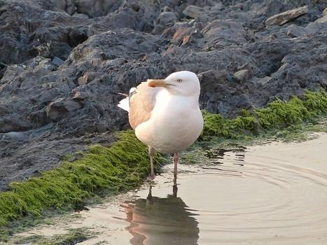 Photo de laridé dans le Domaine Public : Goéland argenté - Larus argentatus - Herring Gull | Fauna Free Pics - Public Domain - Photos gratuites d'animaux | Scoop.it