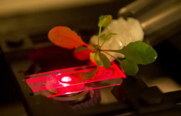 Bionic plants: Nanotechnology could turn shrubbery into supercharged energy producers | Plant Biology Teaching Resources (Higher Education) | Scoop.it
