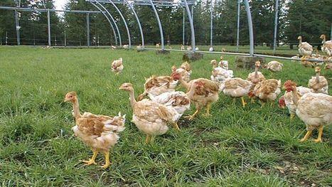 Le poulet du futur adapté au réchauffement - Le Figaro   Projet SF   Scoop.it