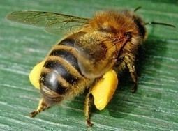 OUR POLLINATORS ARE GOING...Are Pesticides Pushing Honeybee Die-offs Past the Tipping Point? | YOUR FOOD, YOUR HEALTH: Latest on BiotechFood, GMOs, Pesticides, Chemicals, CAFOs, Industrial Food | Scoop.it