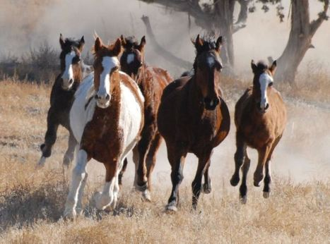 Wild Horses a Problem for Ranchers? Wolves Could Fix That | GarryRogers NatCon News | Scoop.it