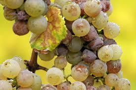 Des processus métaboliques dans les raisins blancs qui se déroulent, normalement, uniquement durant la maturation des raisins rouges. | Le Vin et + encore | Scoop.it