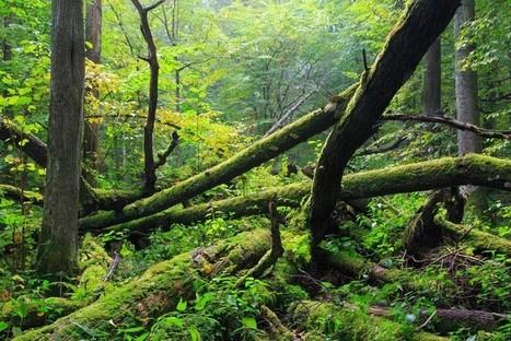 La plus ancienne forêt d'Europe attaquée par des ravageurs… Laissons faire lanature | Chronique d'un pays où il ne se passe rien... ou presque ! | Scoop.it