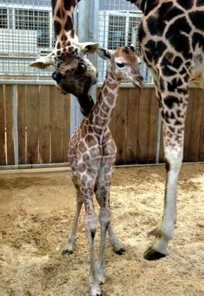 Baby Giraffe is Standing Tall at Burgers' Zoo | Camelopardalis | Scoop.it