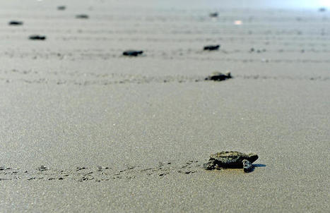 Turtle conservationist Jairo Mora Sandoval found murdered on Playa Moín in Costa Rica / News Briefs / More news / Costa Rica Newspaper, The Tico Times | ScubaObsessed | Scoop.it