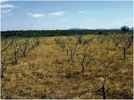 The Jatropha debacle | Crops for the Future | The Agrobiodiversity Grapevine | Scoop.it