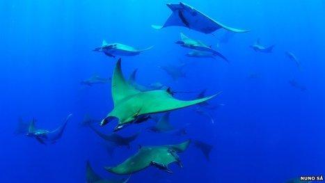 les raies Mobula plongent jusqu'à deux km de profondeur | Rays' world - Le monde des raies | Scoop.it