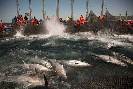 Farm-Raised Tuna May Not Be the Answer to Overfishing | OUR OCEANS NEED US | Scoop.it