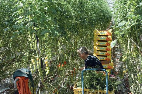 La tomate française en crise | Questions de développement ... | Scoop.it