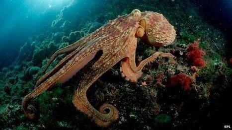 How octopuses co-ordinate their arms | CRAKKS | Scoop.it