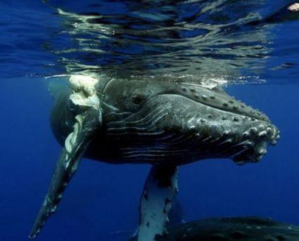 Le whale watching met en danger les baleines à bosse d'Hawaï   La plongée sous-marine   Scoop.it