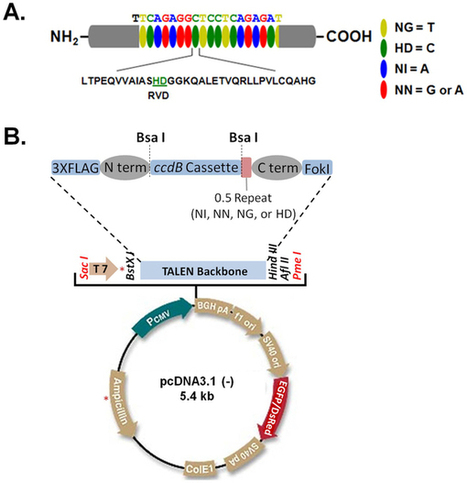A robust TALENs system for highly efficient mammalian genome editing - Sci. Reports | DNA editing | Scoop.it