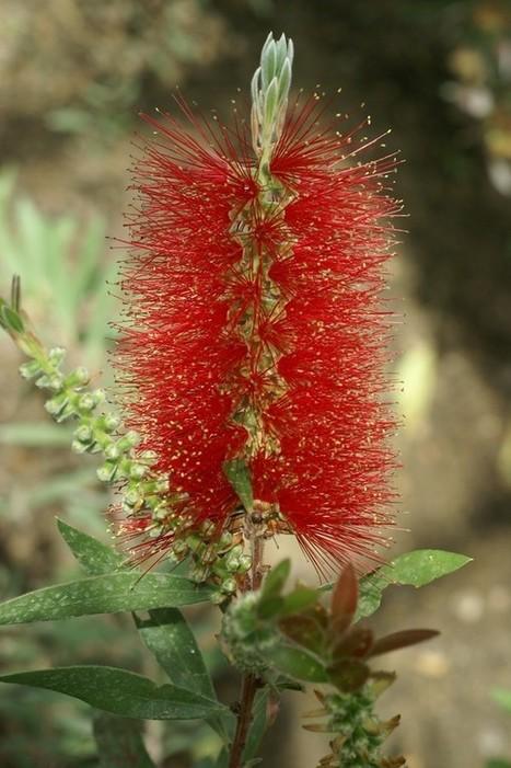 Photos d'Arbustes : Rince bouteille - Callistemon citrinus - Plante goupillon - Red bottle brush | Faaxaal Forum Photos gratuite Faune et Flore | Scoop.it