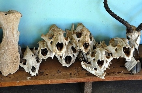 As Tigers Dwindle, Poachers Turn to Lions for 'Medicinal' Bones | Wildlife Trafficking: Who Does it? Allows it? | Scoop.it
