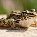 """After Disney's """"Princess and the Frog"""" movie came out, over 50 children were hospitalized with salmonella from kissing frogs   REPTILICIOUS   Scoop.it"""