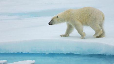 Making polar bears dangerous again | The Arctic Circle | Scoop.it