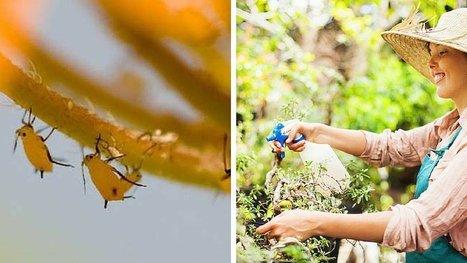 8 insecticides naturels et faits maison pour préserver votre jardin et manger sainement. | Jardin écologique | Scoop.it