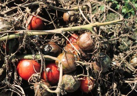 Late blight attacks Michigan tomatoes - Lansing State Journal | Pathology | Scoop.it