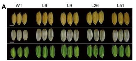 Enhanced sucrose loading improves rice yield by increasing grain size | Emerging Research in Plant Cell Biology | Scoop.it