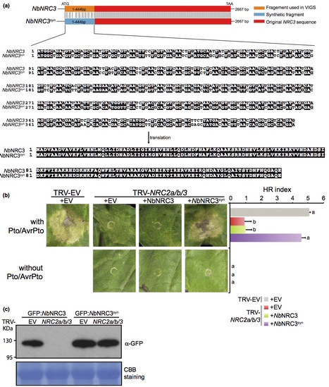New Phytologist: Helper NLR proteins NRC2a/b and NRC3 but not NRC1 are required for Pto-mediated cell death and resistance in Nicotiana benthamiana (2015) | Publications | Scoop.it