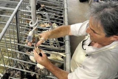 29 % des Français refusent d'acheter du foie gras pour raisons éthiques | Agriculture en Dordogne | Scoop.it