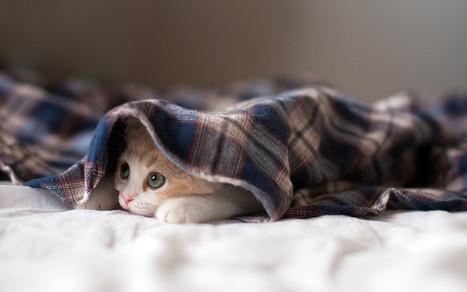 sleepy kitten | Hq Wallpapers Fun | hd-wallpaper-fun | Scoop.it