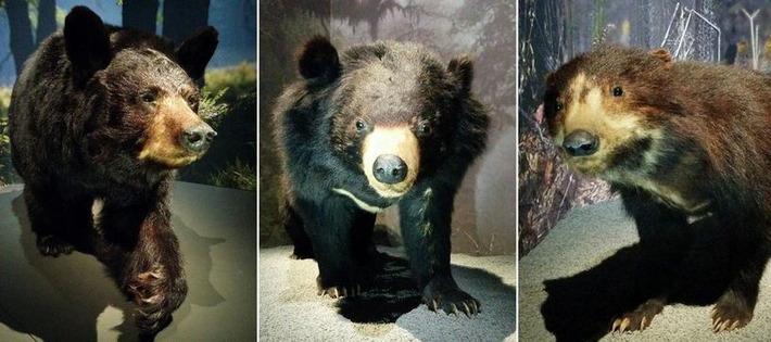 L'ours laisse son empreinte au Muséum d'histoire naturelle | Environnement, développement durable, biodiversité, eau | Scoop.it