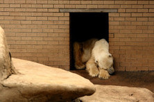 The Battle to Cheer Up Africa's Last Polar Bear - Wall Street Journal   animals   Scoop.it