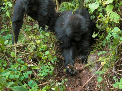 Gorilla Youngsters Seen Dismantling Poachers' Traps—A First | Our Evolving Earth | Scoop.it