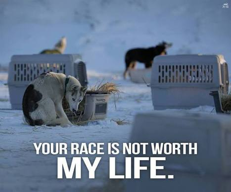 Dogs Used in the Iditarod | Nature Animals humankind | Scoop.it