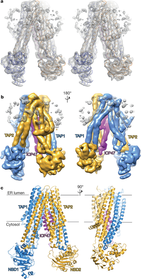 Three-dimensional reconstruction. : A mechanism of viral immune evasion revealed by cryo-EM analysis of the TAP transporter : Nature : Nature Publishing Group   Host Cell & Pathogen Interactions   Scoop.it