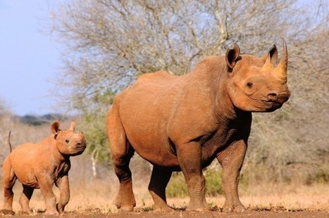 Biotech Firm 3D Prints Fake Rhino Horn That's Genetically Identical To The Real Thing | shubush digital | Scoop.it