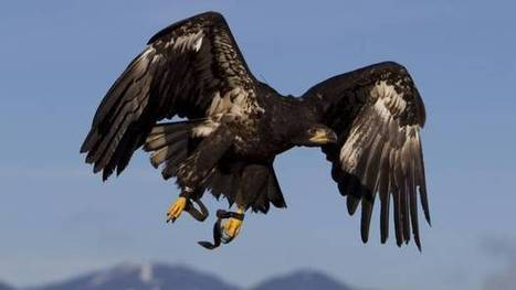 B.C. poachers kill, mutilate nine eagles near Kamloops | Wildlife Trafficking: Who Does it? Allows it? | Scoop.it