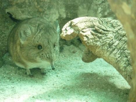 Photo de mammifère : Macroscélide à oreilles courtes - Musaraigne éléphant à oreilles courtes - Macroscelides proboscideus - Short-eared elephant shrew | Fauna Free Pics - Public Domain - Photos gratuites d'animaux | Scoop.it