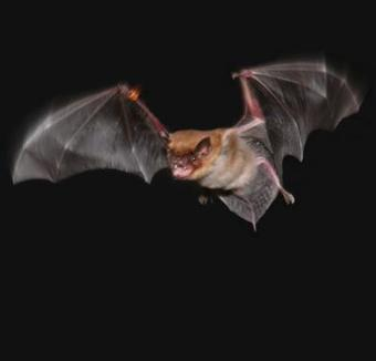 Foraging bats can warn each other away from their own dinners | Amazing Science | Scoop.it