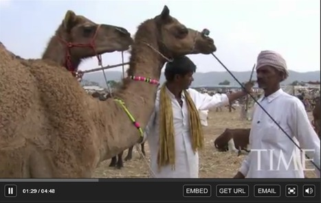 Camels for Cash: India's Fleeting Camel Trade | Geography Education | Scoop.it
