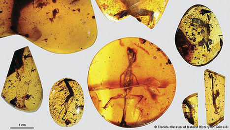 Pela primeira vez... encontrados répteis preservados em âmbar ! | Milhares de milhões de anos... a mesma Terra ! | Scoop.it