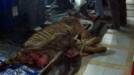 Men caught butchering tiger | Wildlife Trafficking: Who Does it? Allows it? | Scoop.it