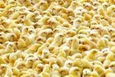 Building Australia's poultry research capability - WorldPoultry.net | Australian Higher Education | Scoop.it