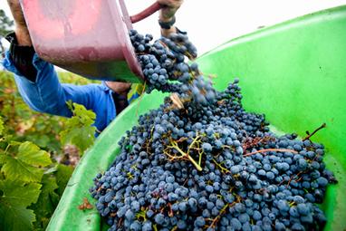 Bordeaux : la plus faible récolte depuis 22 ans | Autour du vin | Scoop.it